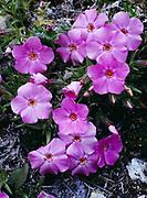 Siberian phlox, Phlox sibirica, blooming on calcareous soil, The Palisades, Ingitkalik Mountain, Cape Krusenstern National Monument, Alaska.
