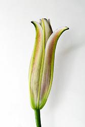 Stargazer Lily #7