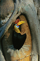 Red-knobbed Hornbill (Aceros cassidix) male at nest hole.  Nest tree has strangler fig growing around trunk.