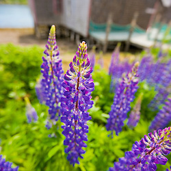 Lupines bloom in front of a historic fish cannery in Lubec, Maine.