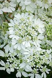 Orlaya grandiflora syn. Caucalis daucoides, Caucalis grandiflora - White laceflower.