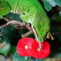 Grosser Madagaskar-Taggecko - Ménage à trois #menageatrois #gekko  #zooh #zoo #zoozürich #zoozurich #zoologischergarten #tiere #tier #animals #animals @zoozuerich #blume #masaolahalle # gruen #rot #zoobesuch