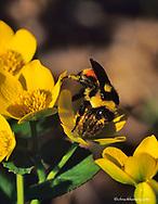 Bumble bee on Marsh Marigold in the Sheyenne National Grasslands in North Dakota, USA