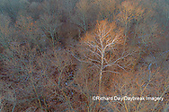 63877-01504 Aerial view of lone Sycamore tree in winter woods Marion Co. IL