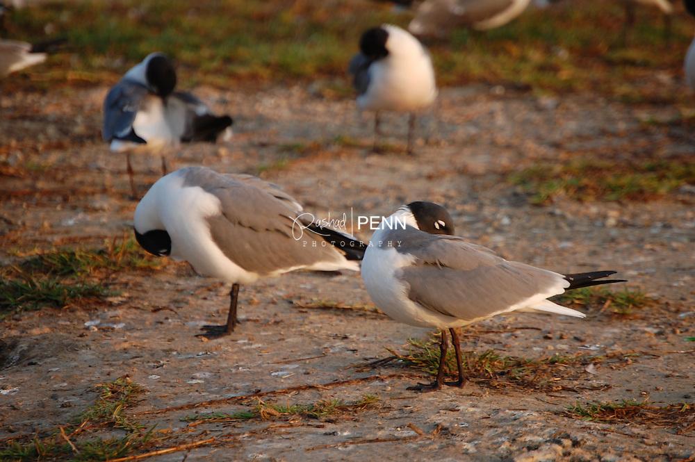 Photos of the laughing seagulls mating season at lake cunningham nassau the bahamas