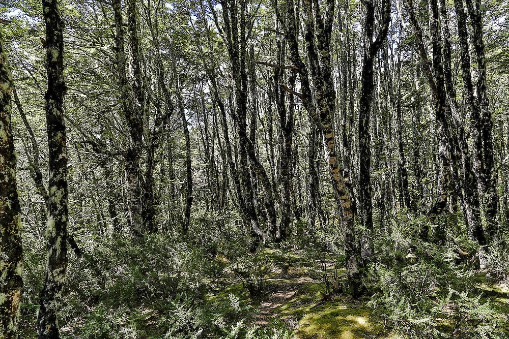 Beech Forest near Arthur's Pass.