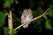 An Eastern Screech Owl, Megascops asio, perches on a tree in a Florida backyard. This small predator is most active during darkness when it hunts a variety of prey, including insects, rodents, reptiles and small birds.