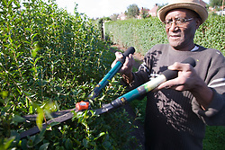 Older man pruning his allotment,