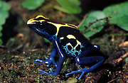 Blue and Yellow poison arrow frog, Suriname Cobalt, Dendrobates tinctorius, - colour acts as warning to predators, captive, jungle, Poison Dart Frog