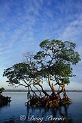red mangrove trees, Rhizophora mangle, Key Biscayne, Florida ( Western Atlantic Ocean )