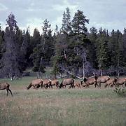 Elk, (Cervus elaphus) Elk herd in meadow grazing, summer. Yellowstone National Park.