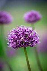 Allium 'Round 'n' Purple' AGM syn. A. 'Round and Purple'