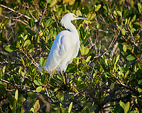 Snowy Egret in a tree along Black Point Wildlife Drive. Image taken with a Nikon Df camera and 500 mm f/4 VR lens (ISO 100, 500 mm, f/4, 1/640 sec).