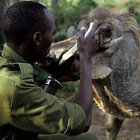 Africa, Kenya, Nanyuki. A keeper examines the warthog tusks at Sweetwaters Game Reserve.