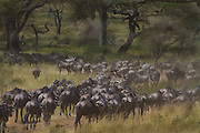 The migration underway, wildebeests and zebras,  Serengeti National Park, Tanzania.