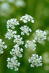 Cow parsley - Anthriscus sylvestris<br /> Queen Anne's lace