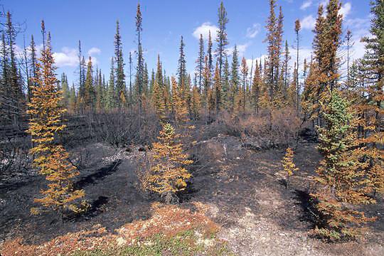 Boreal forest near Churchill, Manitoba. Canada. Summer.  .Forest fire that burned boreal forest near Churchill, Manitoba. Canada. Summer.