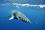 minke whale (Balenoptera acutorostrata) photographed at the Great Barrier Reef, Queensland, Australia, Pacific Ocean.