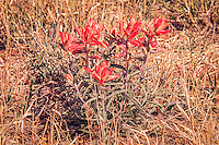 These beautifully bright red woolly Indian paintbrushes were found growing in the desert at the base of the Chiricahua Mountains in Southeastern Arizona near the Mexican border. Easily identified by the short dense hairs on the leaves and stem, this semi-parasitic native wildlflower gains supplimental nutrients from neighboring plants.