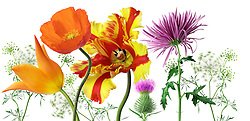 Milk thistle flowerhead Eschscholzia californica California poppy queen annes lace
