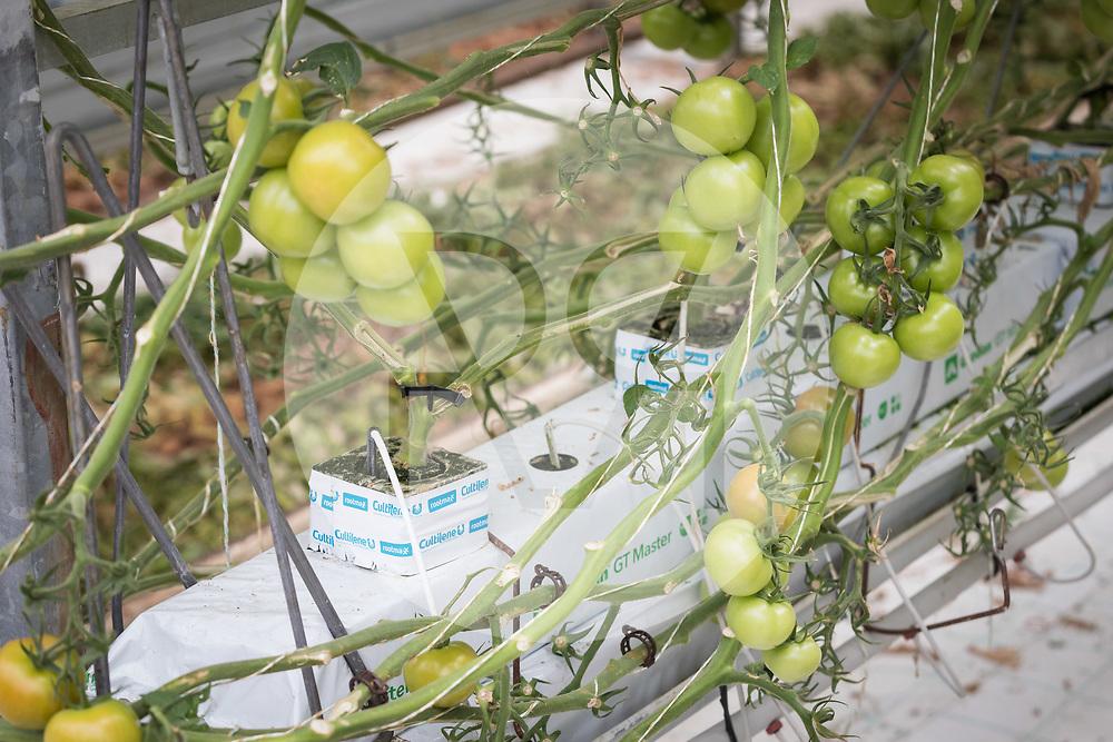 SCHWEIZ - NIEDERBIPP - Hors-Sol-Tomaten wachsen im Gewächshaus auf Substrat, bei Bösiger Gemüsenkulturen AG - 21. Juni 2019 © Raphael Hünerfauth - http://huenerfauth.ch