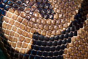Close-up abstract of the skin pattern of a Royal python or Ball python (Python regius) at the Long Sutton Wildlife Park Lincolnshire