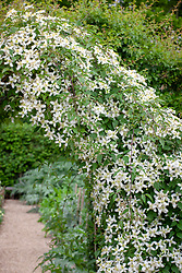 Clematis montana var. wilsonii growing over an arch in the cutting garden