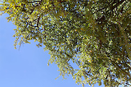 Argan nuts on Argan tree (Argania spinosa). This tree is endemic to the Sous valley in Morocco. It is cultivated for the oil (argan oil) that is found in the fruit. The oil is rich in fatty acids and is used in cooking and cosmetics. The argan tree is an endangered species and is protected by UNESCO (United Nations Educational, Scientific and Cultural Organisation).