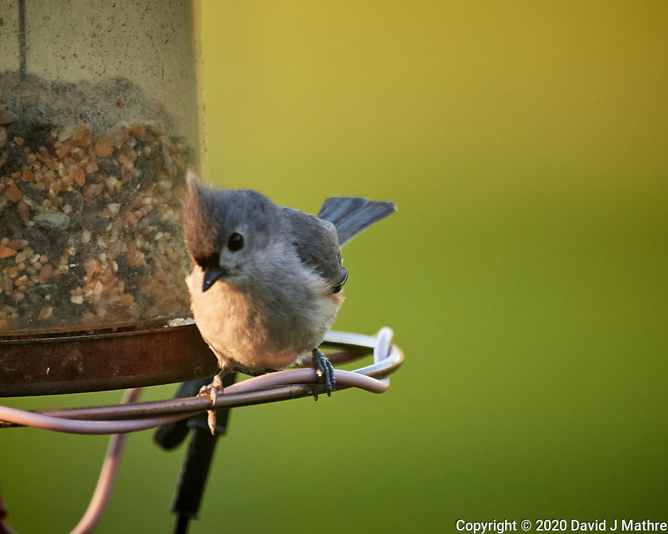 Tufted Titmouse. Image taken with a Nikon D5 camera and 600 mm f/4 VR lens (ISO 1600, 600 mm, f/5.6, 1640 sec)