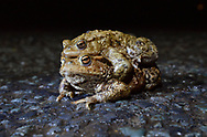 Common Toad - Bufo bufo - mating pair in amplexus found at a notorious migration crossing point on a busy country lane during the breeding migration period in early spring.