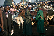 A bull trader buys a bull in a livestock market in a suburb of Bangui. The bulls are mostly herded from Chad, Sudan, and as far as Niger, traveling up to two weeks to reach Bangui. They could be sold from 500,000 CFA (about 1,000 USD) to 700,000 CFA (about 1,470 USD) per bull.
