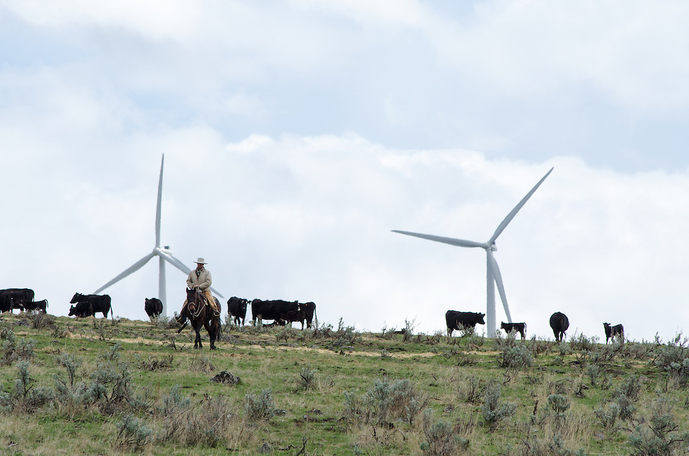 Cowboy checking a herd of cows grazing near the Elkhorn Valley Wind Farm in Union County, Oregon.