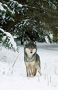 EUROPEAN WOLF Canis lupus, FEMALE WOLF EMERGING FROM THE FOREST, POLAND
