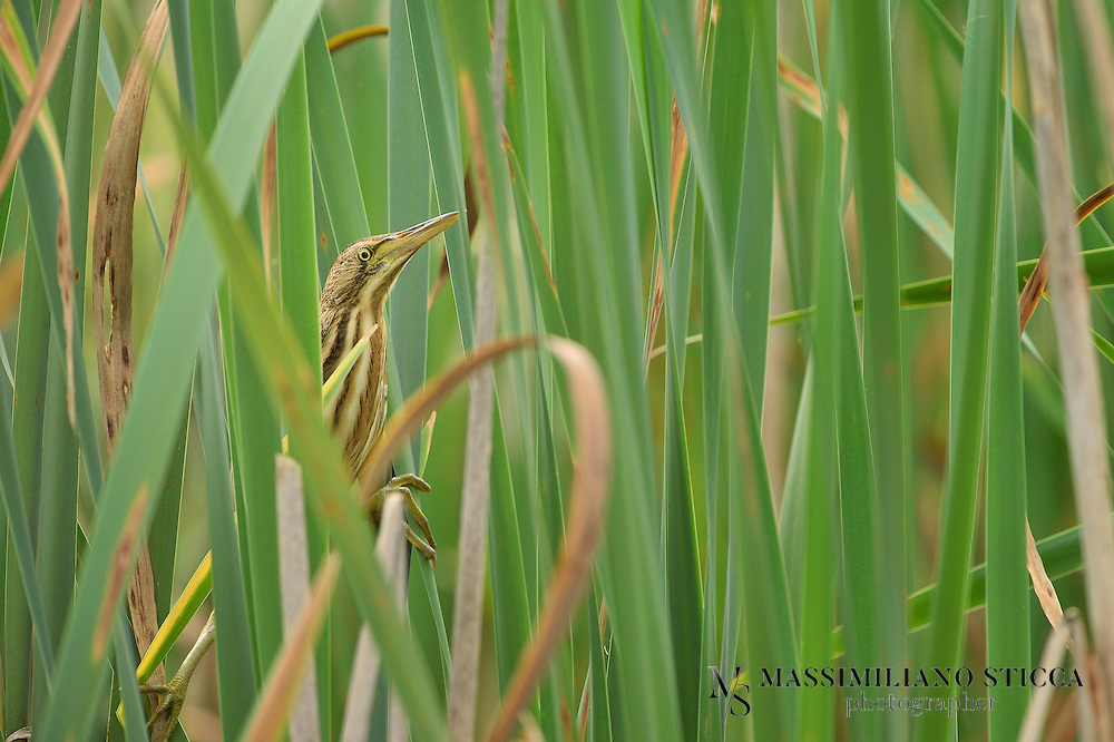 The Little Bittern (Ixobrychus minutus) is a wading bird in the heron family Ardeidae, native to the Old World, breeding in Africa, central and southern Europe, western and southern Asia, and Madagascar. Birds from temperate regions in Europe and western Asia are migratory, wintering in Africa and further south in Asia, while those nesting in the tropics are sedentary. It is rare north of its breeding range.