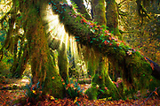 Hoh Rainforest in Olympic National Park, in autumn