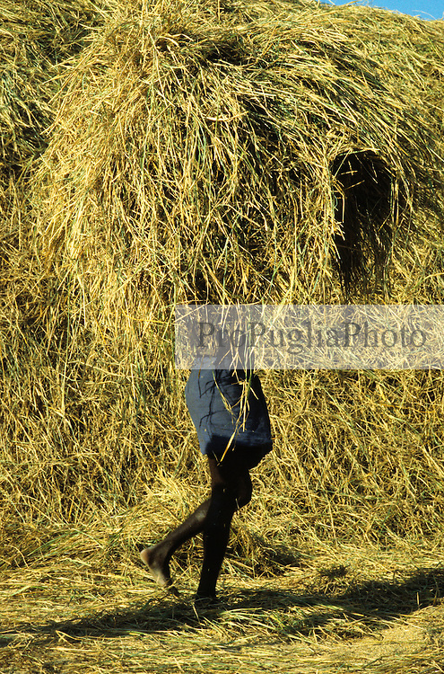 A heavy-days-work. A man is carring a huge pile of golden colored straw covering his entire upper body.