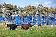 Maui, Hawaii. Cows in the pasture at Hana Ranch, Hana, Maui