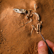 "A newly discovered 5 "" long therian mammal from the Gobi Desert discovered by the American Museum of Natural History Expeditions to Mongolia.  The little creature was a contemporary of dinosaurs."
