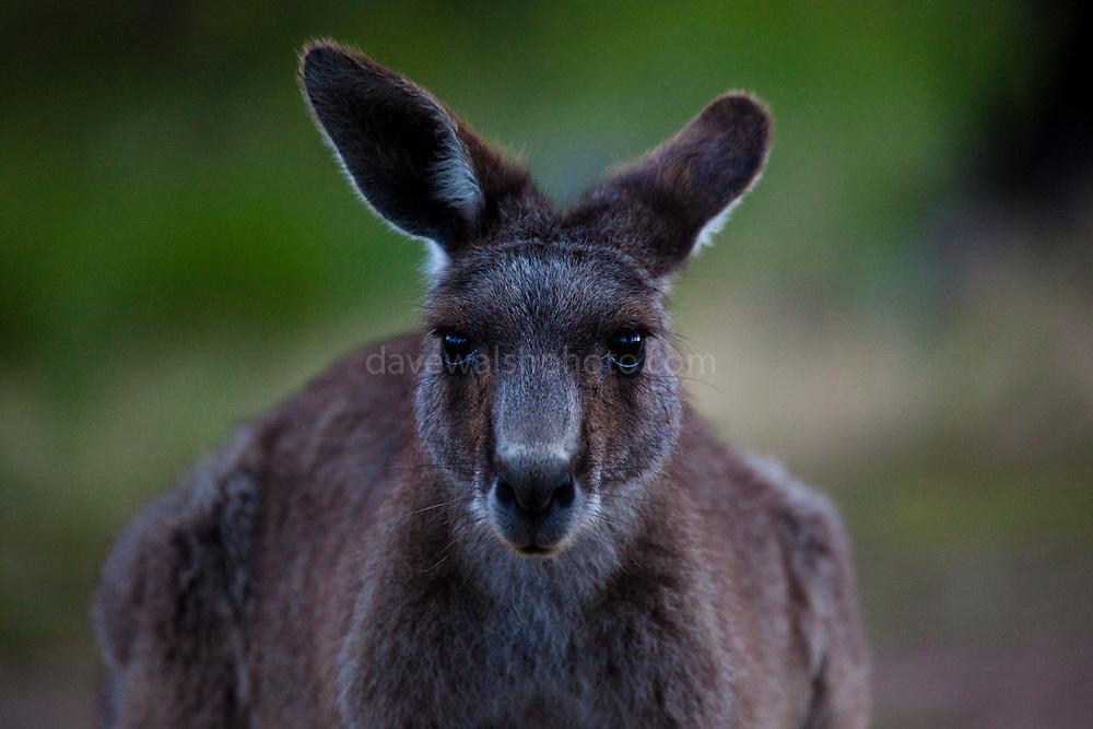 Eastern Grey Kangaroo, at Tom Groggins, Mount Kosciuszko National Park