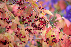 The berries of Euonymus planipes - Flat-stalked spindle tree syn. Euonymus sachalinensis misapplied