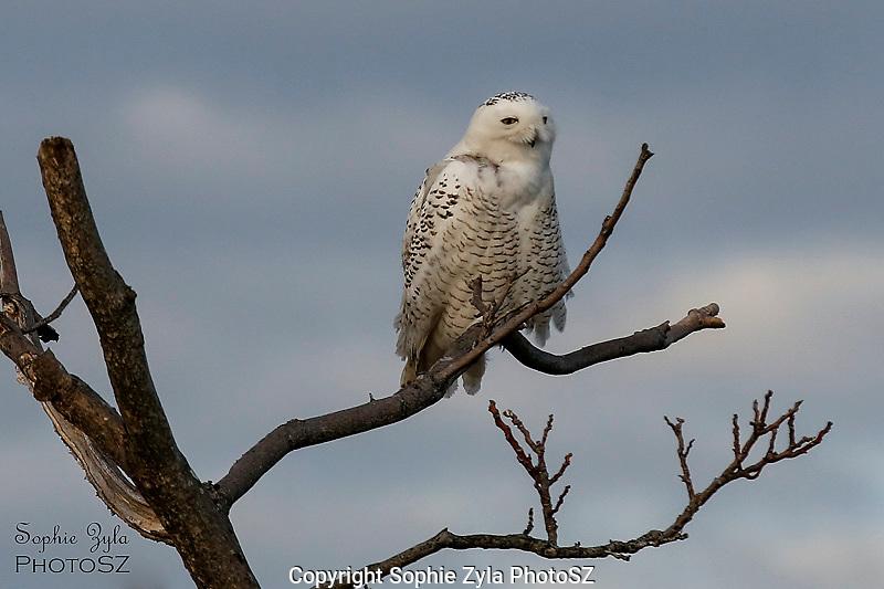 Snowy Owl Stormy Sky