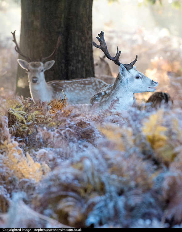 © Licensed to London News Pictures. 02/11/2016. Richmond, UK. Deer stand amongst the frosty bracken.  Deer in the frost in Richmond Park London today 2nd November 2016. much of the country experienced a frost overnight. Photo credit : Stephen Simpson/LNP