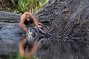 Young Borneo Orangutan (Pongo pygmaeus wurmbi) testing out what water is like in Tanjung Puting National Park, Kalimantan, Indonesia