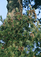 Macedonian Pine Pinus peuce (Pinaceae) HEIGHT to 30m <br /> Narrowly conical; trunk slender and crown pointed. BARK Greyish-green. LEAVES Slender, supple needles, to 12cm long, with toothed margins and pointed tip. REPRODUCTIVE PARTS Cones to 20cm long, mostly cylindrical, sometimes curved near tip; grow below shoots, green, ripening to brown. STATUS AND DISTRIBUTION Native to Balkans, planted here occasionally.