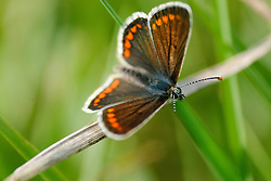 Bruin blauwtje, Aricia agestis