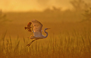 At sunrise a Great Egret is chased by a Red-winged Blackbird for flying to near its nest - Mississippi.