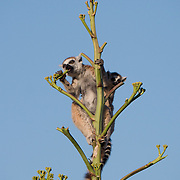 Ring-tailed lemur mother with baby feeding on a plant it climbed. Berenty Reserve, Madagascar.