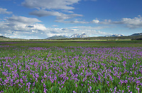 Shooting Star (Dodecatheon conjugens) wildflowers blooming in Elk Meadows, Salmon-Challis National Forest Idaho