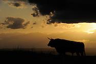 Ganado Bravo, Fighting bulls, cattle,.El Bodón, Salamanca Region, Castilla y León, Spain.