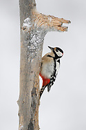 Great spotted woodpecker male, Dendrocopos major, Frost winter, minus - 30 C in the boreal Taiga forest Kalvtrask, Västerbotten, Lapland, Sweden